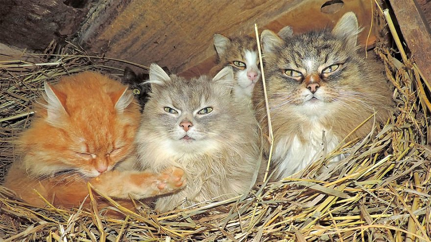 siberian farm cats alla lebedeva 30 5a33810405791 880