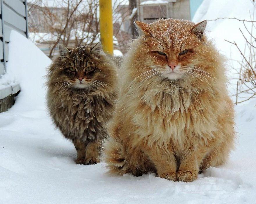 siberian farm cats alla lebedeva 31 5a338105d8556 880