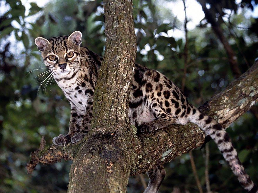 unusual wild cats 18 1