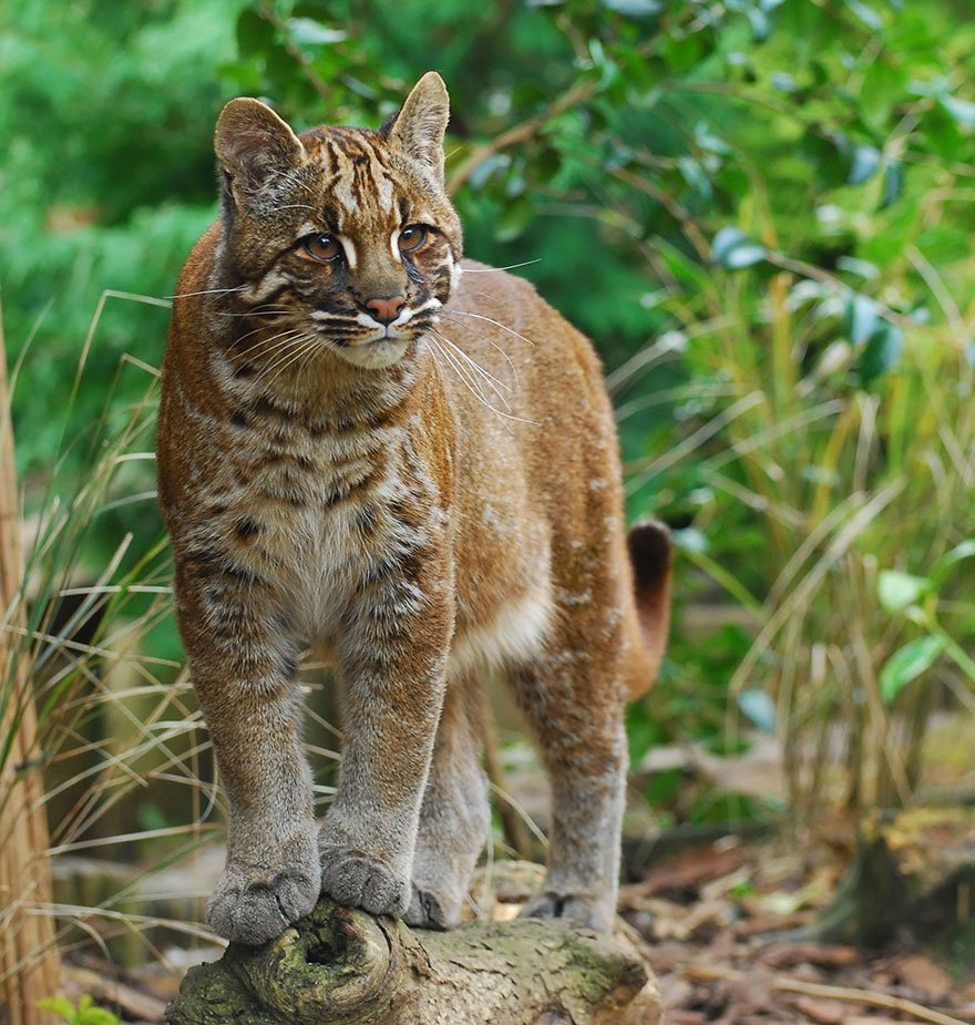 unusual wild cats 30 880