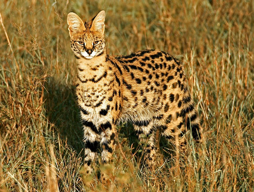 unusual wild cats 36 880
