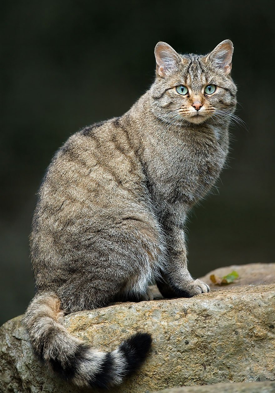 unusual wild cats 37 880