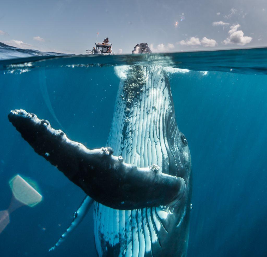 """""""Phần nổi của tảng băng chìm"""" là bức ảnh chụp một con cá voi lưng gù đang ở tuổi vị thành niên trồi dậy khỏi mặt nước tại nam Thái Bình Dương, ngoài khơi bờ biển Tongatapu, Tonga. Ảnh: David Edgar."""