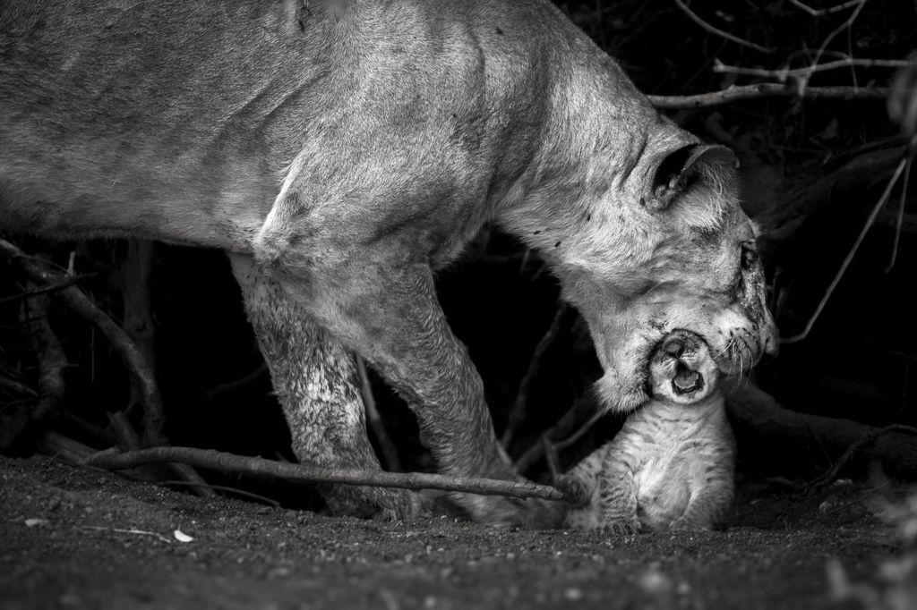 """Bức ảnh """"Tình mẫu tử"""" được chụp tại đồng bằng Masai Mara, Kenya, cho thấy cảnh một con sư tử mẹ đang bảo vệ con non mới sinh của mình bằng cách ngậm nó vào miệng và đem giấu sau các bụi cây. Ảnh: Sonalini Khetrapal."""