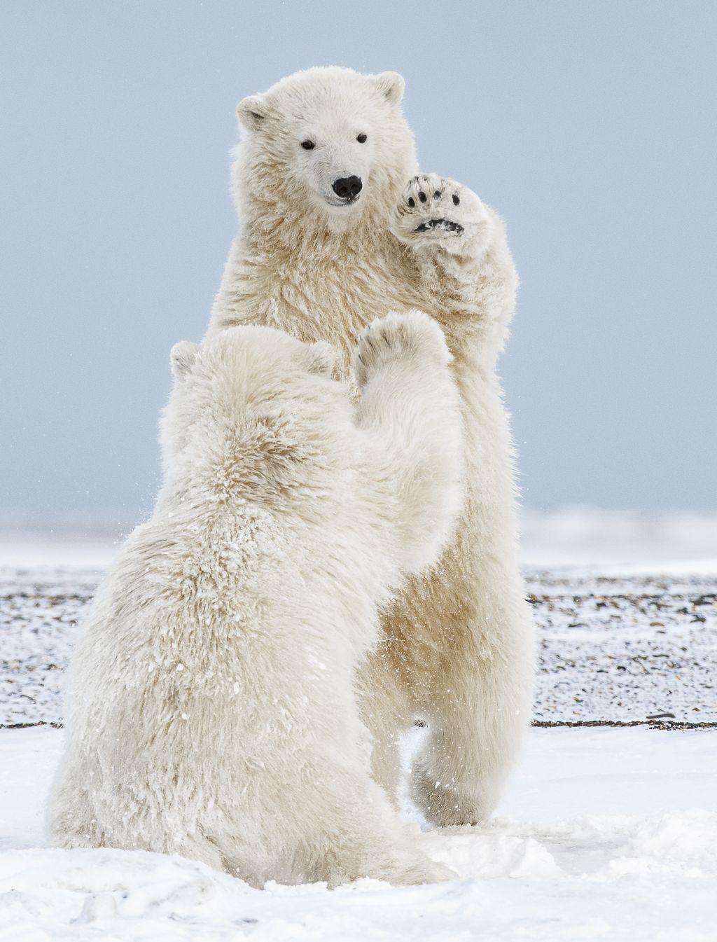 Khi nhiếp ảnh gia Michelle Theall đang cưỡi xe trượt tuyết dọc bờ biển Beaufort ở Kaktovik, Alaska, ông đã vô tình bắt được khoảnh khắc này khi hai chú gấu đưa tay ra và hi-five với nhau.