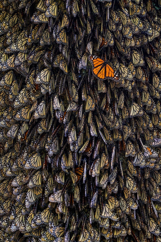 Tại Khu bảo tồn Quốc gia El Rosario ở Mexico, nhiếp ảnh gia Tihomir Trichkov như được trở về tuổi thơ khi đi dạo bên trong khu bảo tồn này. Ở một gốc cây, ông chứng kiến một đàn bướm rất đông nhưng nổi bật hơn cả là một chú bướm có cánh màu cam sáng.