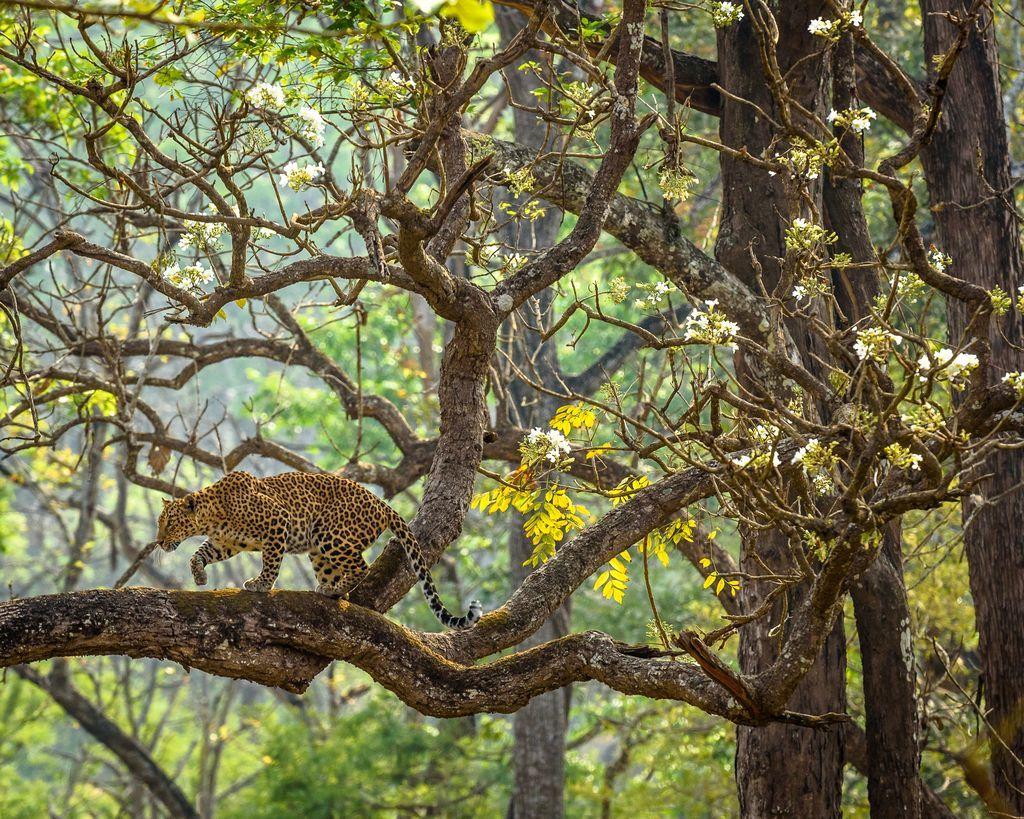 Đó là một buổi sáng trong lành ở Khu bảo tồn hổ Nagarahole khi Mặt Trời dần mọc lên và chiếu xuyên qua những lớp sương sớm. Khi tác giả của bức ảnh này đi qua khu rừng, ông nhìn thấy một con báo đốm đang di chuyển chậm rãi qua cành cây với những bông hoa màu trắng. Ảnh: Naveen Srikantachari.