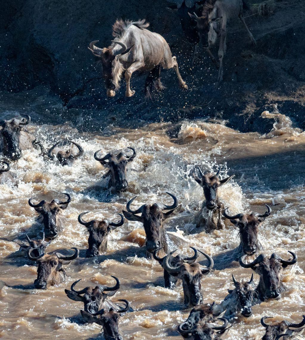 Một đàn linh dương đầu bò đang điên cuồng lao xuống sông và bơi thật nhanh để đến được bờ bên kia. Sau mỗi cuộc đại di cư này sẽ có ít nhiều những con bị bỏ lại hoặc bị cá sấu ăn thịt. Ảnh: Penny Hegyi.