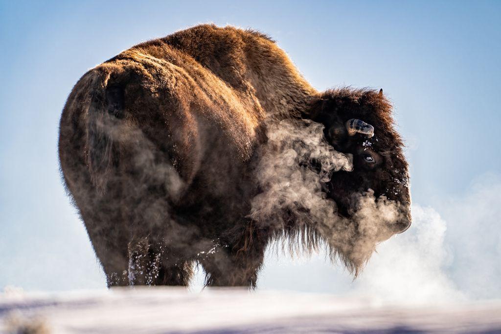 Ngày dần ngắn lại và đêm dần lạnh hơn khi Yellowstone bước vào mùa đông. Trong ảnh là buổi sáng sớm khi màn đêm lạnh lẽo vừa qua đi, một con bò rừng đang vượt qua ngọn đồi đóng đầy băng tuyết để tìm kiếm thức ăn. Trên đường đi, con bò rừng này ngừng lại, hít một hơi thật sâu vào rồi thở ra, tạo nên lớp khói trắng bao xung quanh nó. Ảnh: Taylor Albright.