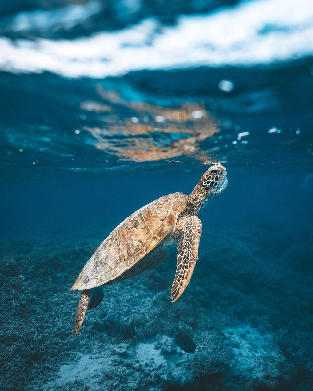 Một con rùa biển đang ngoi lên mặt nước để thở. Hình được chụp ở ngoài khơi bờ biển của đảo Heron, trong khu vực Rạn san hô Great Barrier. Ảnh: James Vodicka.