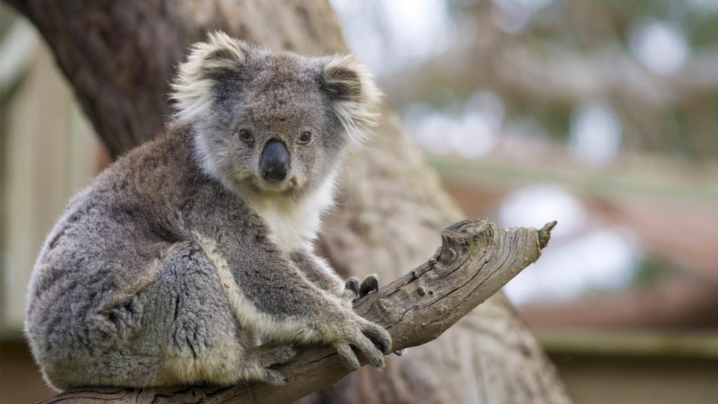 lost bird koala tuyet chung 2