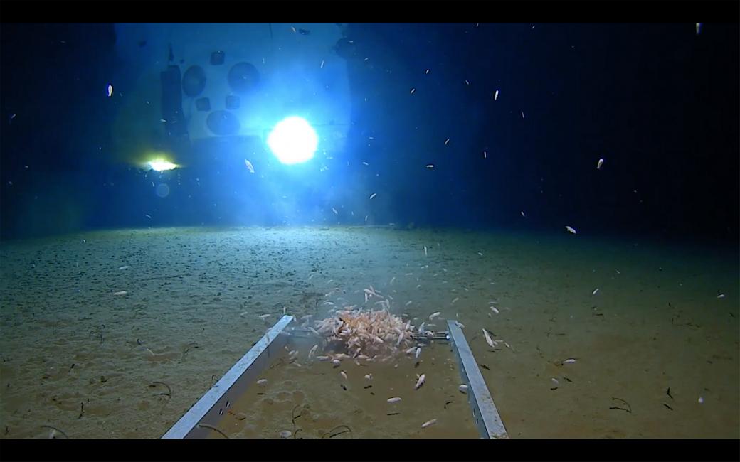 Rất nhiều cá thể động vật chân đốt đang bơi xung quanh tàu lặn The Limiting Factor khi nó chạm đến mặt đáy của Thái Bình Dương.