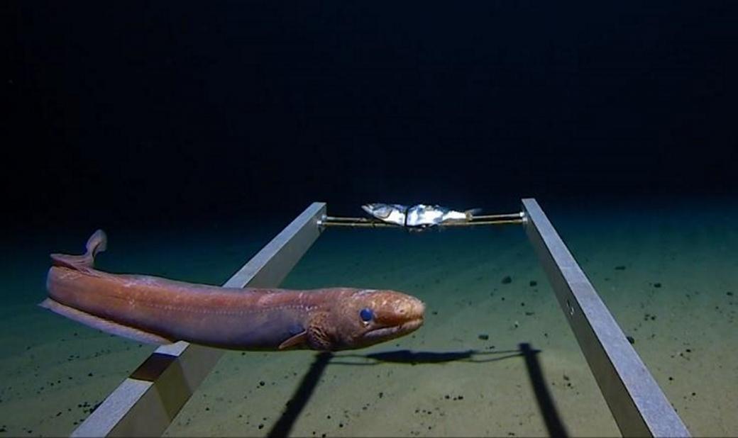 Những sinh vật kỳ dị bơi qua trước mũi tàu lặn The Limiting Factor ở nơi tận cùng của đại dương.