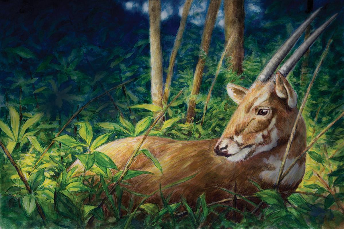 'Kỳ lân Châu Á' - Loài thú bí ẩn sinh sống tại Việt Nam có nguy cơ tuyệt chủng