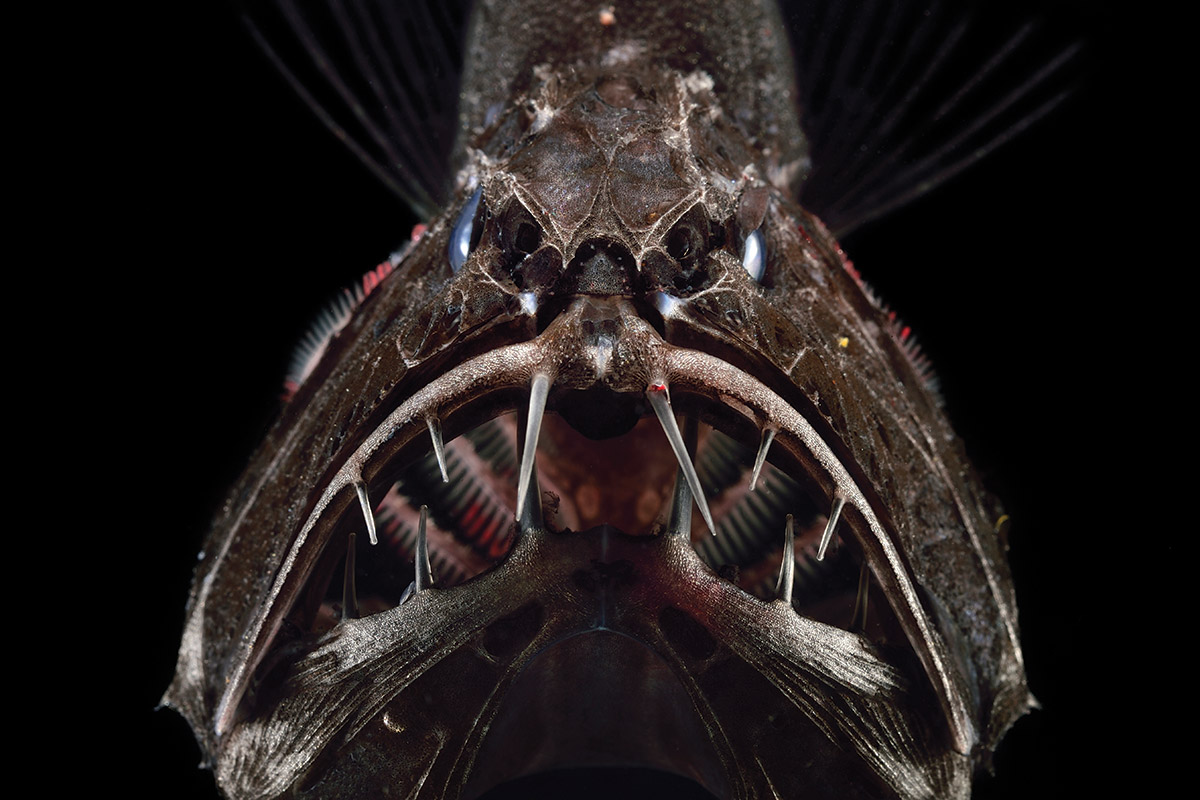 fangtooth1