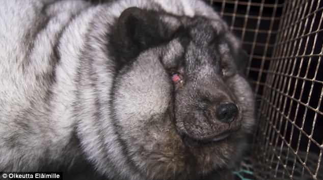 footage shows grossly obese foxes with infected eyes deformed feet living in barren wire cages