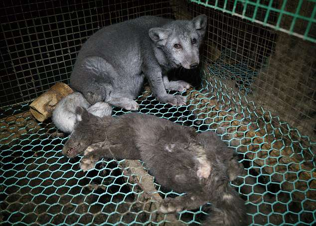 foxes at other fur farms are shown living in equally deprived conditions one sharing a cage with a dead pup