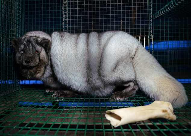 the monster foxes are being bred on fur farms in western finland an investigation has found