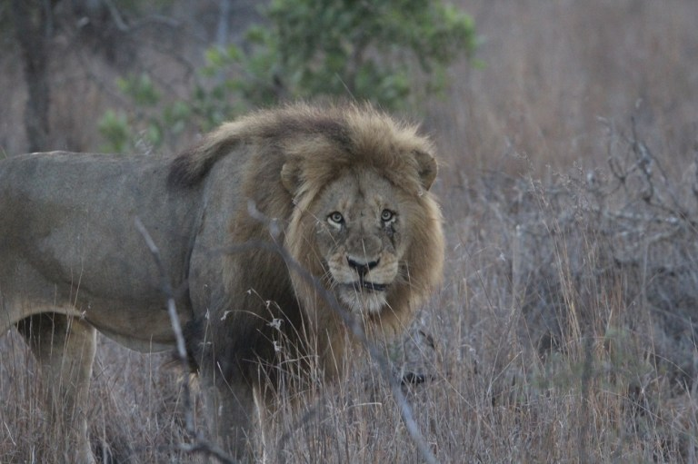 lion su tu 3