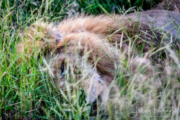lion su tu lost bird
