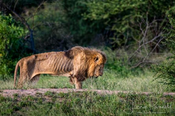 lion su tu