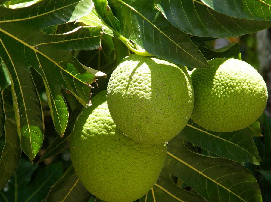 breadfruit custom 2240461fc3b4f4b0c15b6847c4db9accbf7fee4d s900 c85