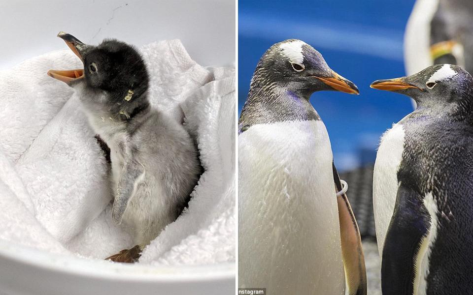 Quả trứng do cặp chim cánh cụt đực đồng tính ấp đã nở, câu chuyện đáng yêu đi vào lịch sử nước Úc
