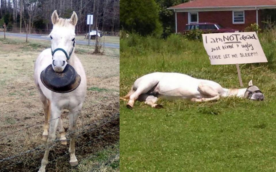 Chú ngựa ai cũng cưng vì ngốc: Chỉ biết xin ăn rồi nằm ngủ, còn bị cả Google Street View chụp được