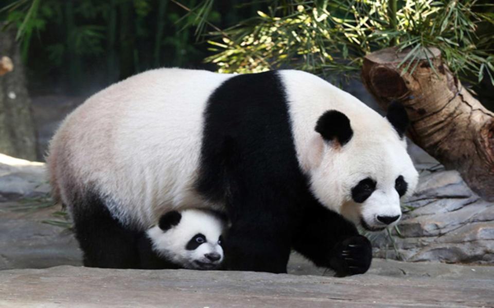 Khách tham quan ném đá vào chuồng gấu trúc, sở thú Bắc Kinh cam kết siết chặt hệ thống an ninh