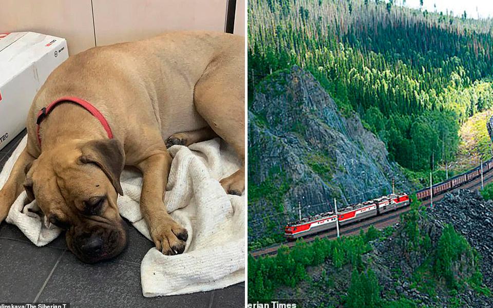 Chú chó bị bỏ rơi đã đi bộ 200km trong nước mắt để về bên chủ