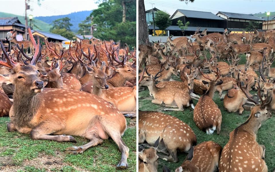 Hiện tượng 'shikadamari' bí ẩn: Vì sao hàng trăm con nai luôn tập trung một chỗ đúng 6 giờ rưỡi chiều tại công viên Nara?