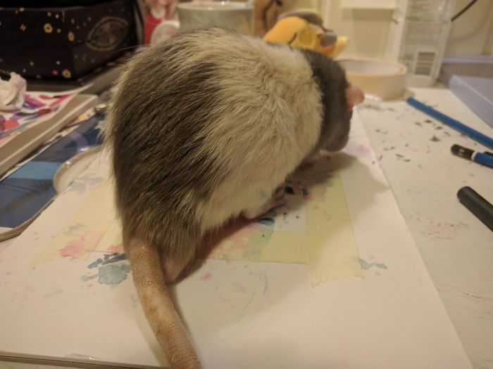 trained pet rat darius paintings amalie markota andersen norway 1 1 5d89fef747f18 700