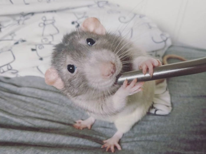 trained pet rat darius paintings amalie markota andersen norway 1 9 5d89ff06d8df9 700