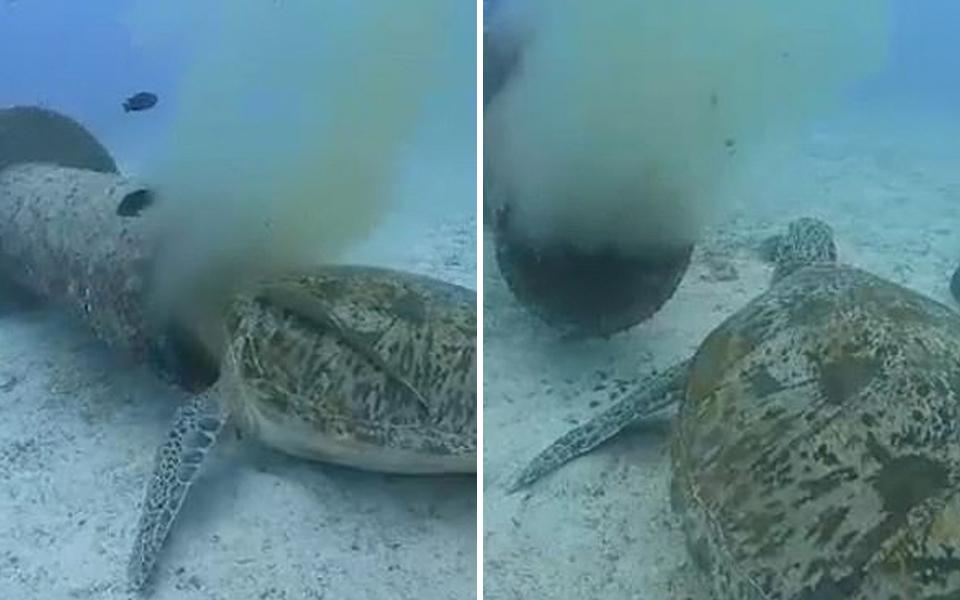 Rùa biển xanh có nguy cơ tuyệt chủng ở Philippines vẫn phải hứng nước thải để ăn