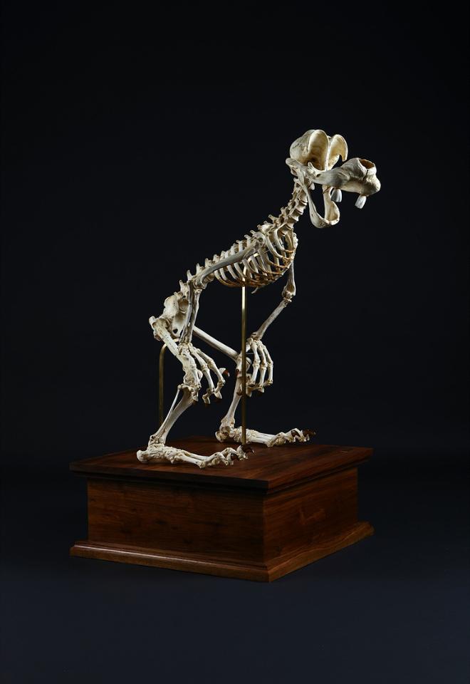 Đây là bộ xương của chú chó Goofy.