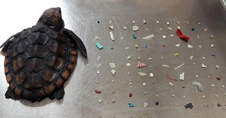 Chú rùa nhỏ chết thảm vì 104 mảnh nhựa nằm trong ruột