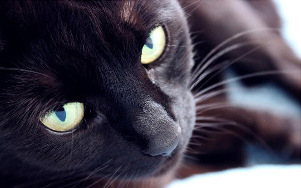 'Lý do tôi chọn mèo ta?' - Kỳ 4: 'Mèo mun' quyền lực và bí ẩn