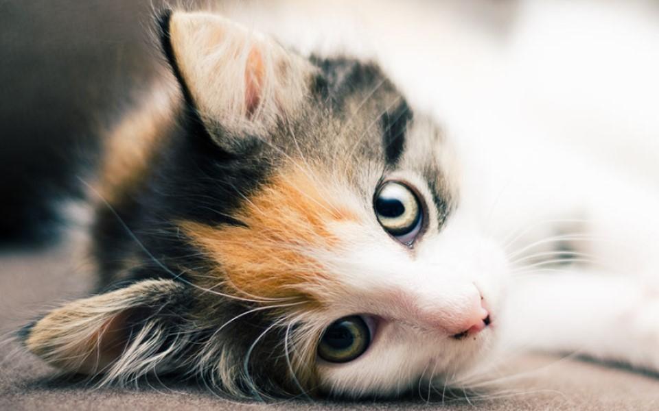 'Lý do tôi chọn mèo ta?' - Kỳ 3: 'Mèo tam thể' mang đến cơ hội, may mắn và tiền tài