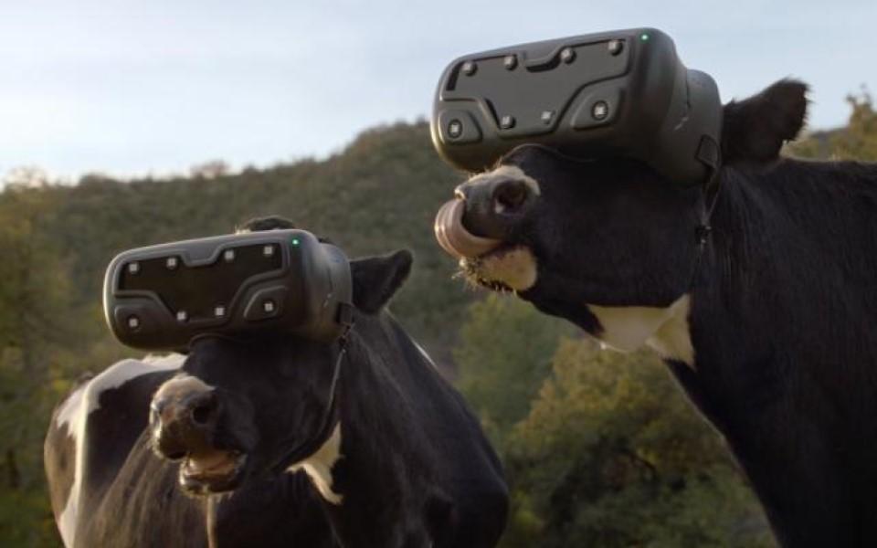 Trang trại ở Nga đeo kính VR cho bò để tăng sản lượng sữa