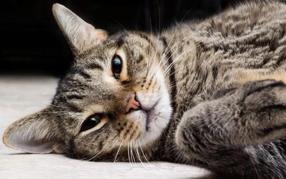 'Lý do tôi chọn mèo ta?' - Kỳ 1: 'Mèo mướp xám' kiêu hãnh dòng máu cổ xưa