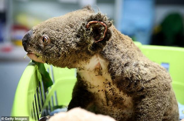 Quần thể Koala ở Úc sẽ không bao giờ có thể phục hồi sau vụ cháy rừng khủng khiếp