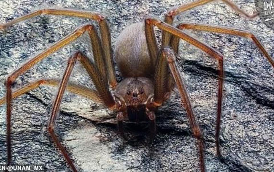Loài nhện độc mới tại Mexico có thể khiến thịt thối rữa bằng một vết cắn