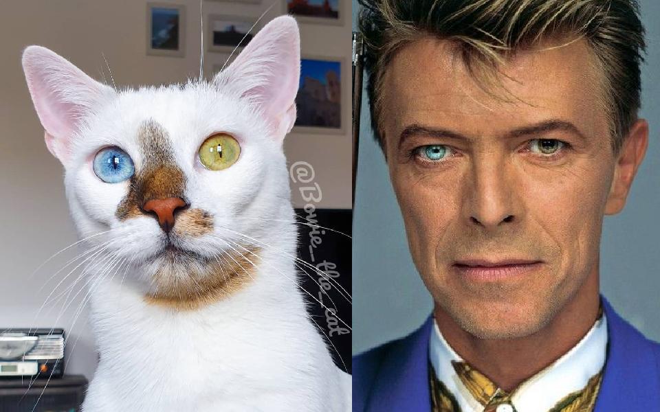 Bowie - Chú mèo có bộ mặt ngộ nghĩnh nhìn một lần là không thể quên được