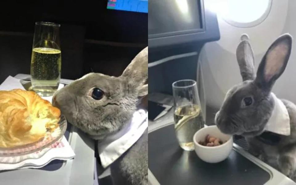 Cuộc sống sang chảnh của chú thỏ đi máy bay hạng thương gia, uống Champagne nhờ chủ là CEO