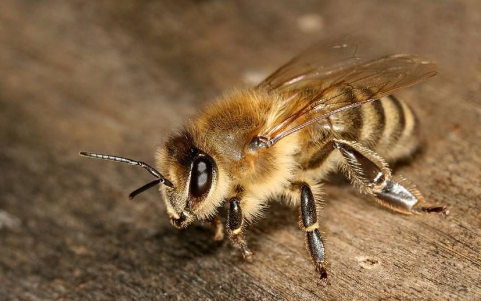 Ong mật 'lắc mông' để định vị nơi có mật hoa cho đồng loại