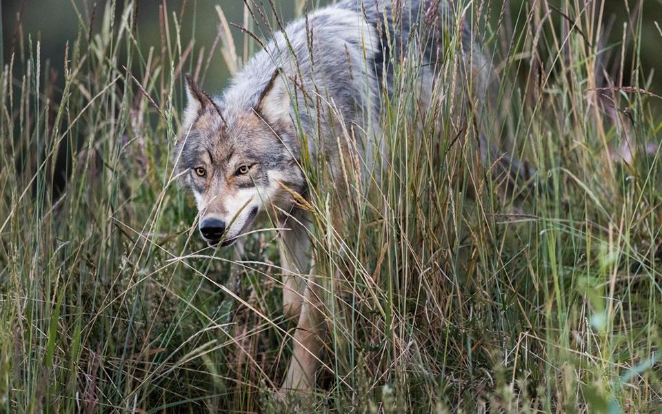 'Thả sói về rừng': Chiến lược đưa động vật ăn thịt về tự nhiên để giảm thiểu khí nhà kính