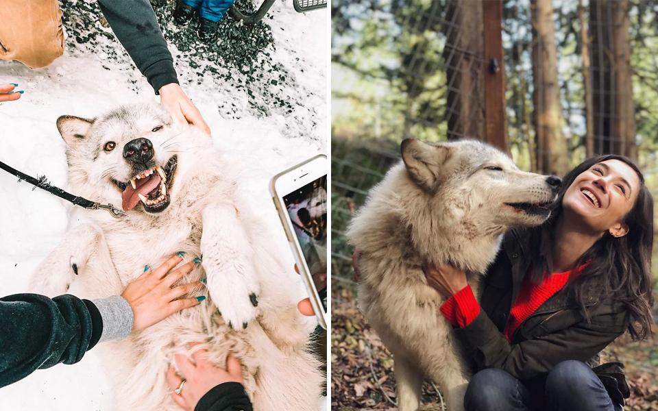 Hòn đảo chó sói là nơi bạn có thể nựng loài vật hung dữ như thú cưng