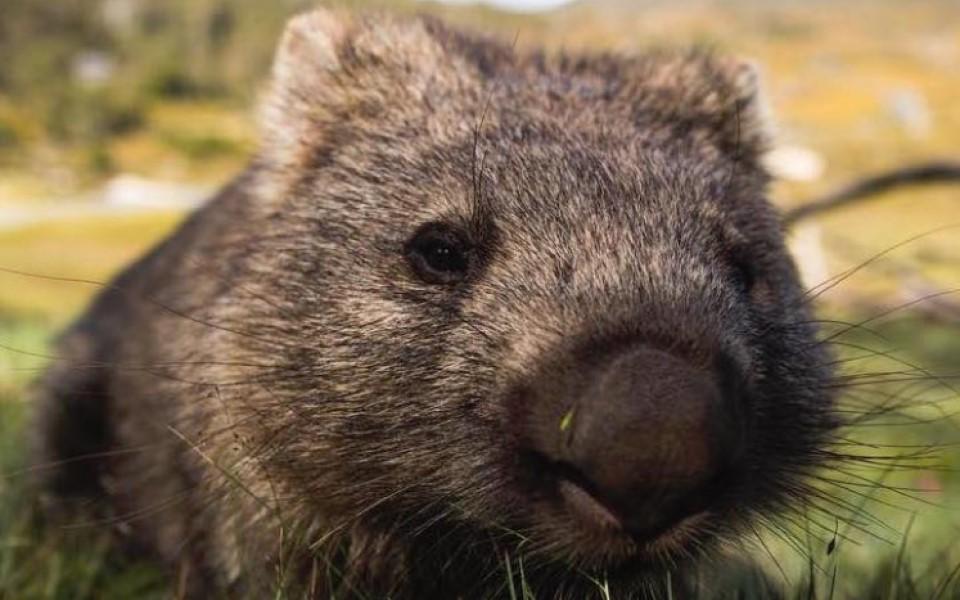 Wombat không cho loài thú nào ở nhờ hang nhưng chúng đã cứu Châu Úc theo cách khác