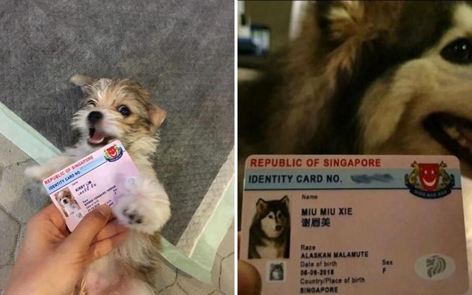 Những chú chó ở Singapore được cấp chứng minh nhân dân vì lý do ấm lòng