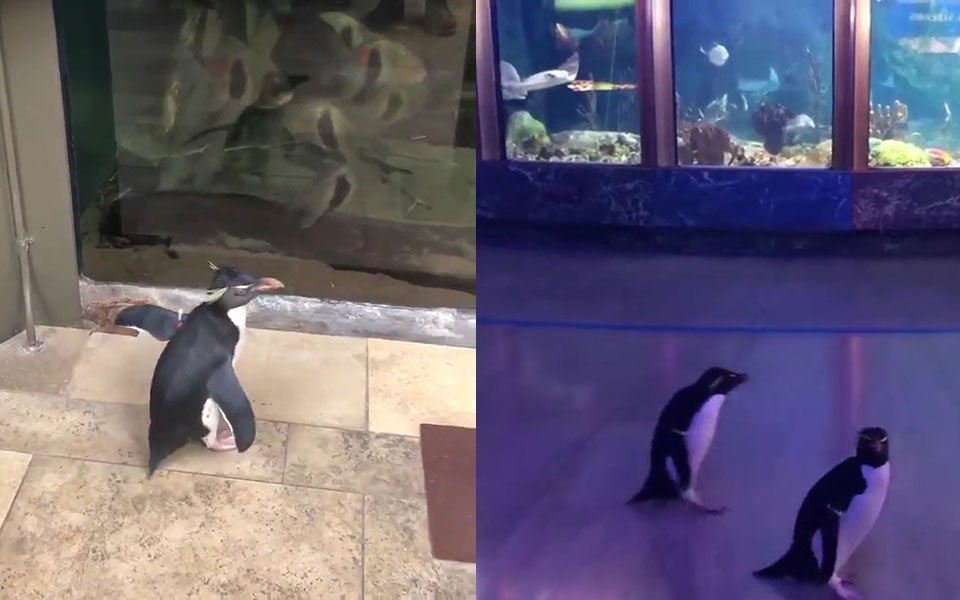 Chim cánh cụt tự do dạo chơi khắp thủy cung khi bị đóng cửa ngừa dịch COVID-19